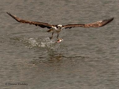 Beau snagging a fish alongside the nest platform.