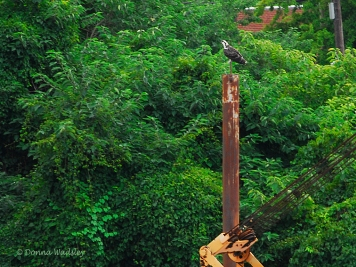 OspreyTeen on another piling.