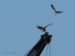 Beau defending his perch against an intruding area Osprey.