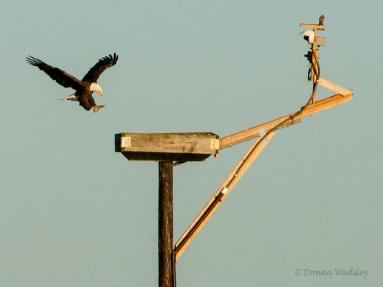 Bald Eagle landing on Osprey platform set up with a live-stream camera.