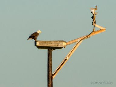 Bald Eagle perched on Osprey platform set up with a live-stream camera.