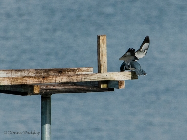 Belted Kingfisher getting ready to dive for a fish.