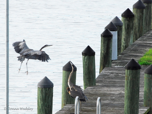 Great Blue Herons fighting over territory