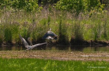 Great Blue Herons fighting over fishing territory.