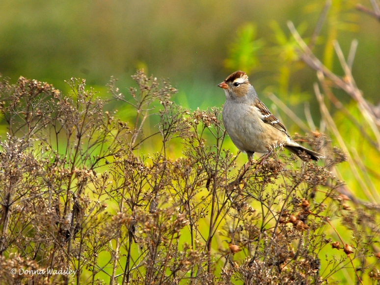 _DSC0299-1 102818 chippingsparrow questionmark