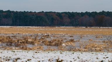 Tundra Swan flock