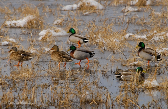 Mallards walking on ice