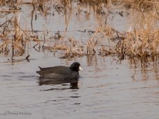 American Coot with that red eye