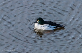 Common Goldeneye (male)