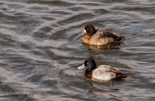 Lesser Scaup (male & female)