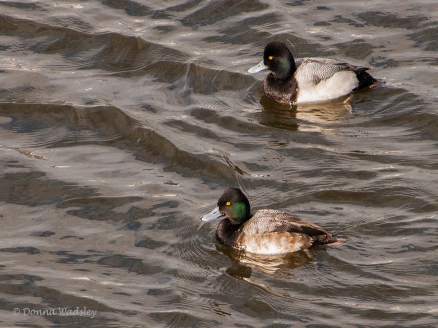 Lesser Scaup (males)