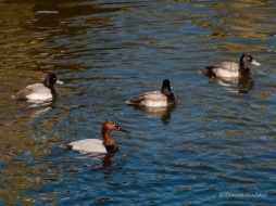 Lesser Scaup, Canvasback