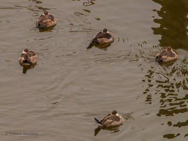 Resting Ruddy Ducks