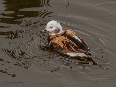 Long-tailed Duck (male)