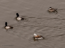 Lesser Scaup, Long-tailed Duck, Ruddy Duck