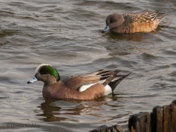 American Wigeons (male & female)