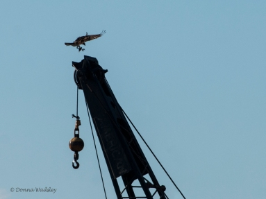Beau landing on the crane with the fish