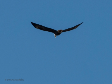 Eagle gives up and head away from the area.