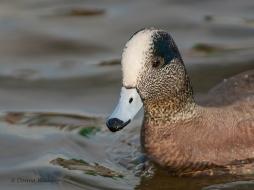 American Wigeon (male)