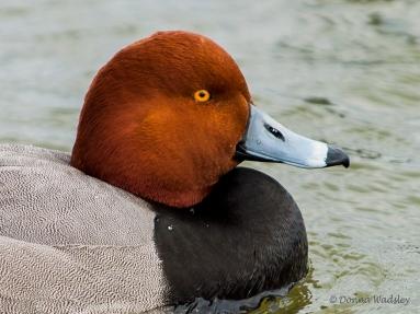 Redhead (male)