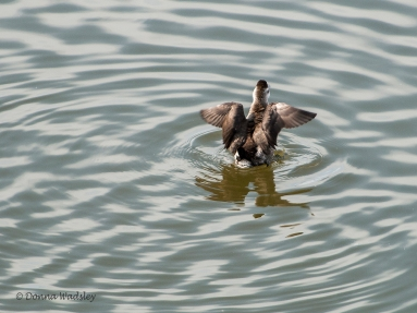 Female Ruddy Duck stretch