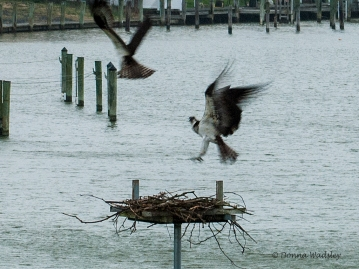 Bella defending her nest from intruding Osprey attacks