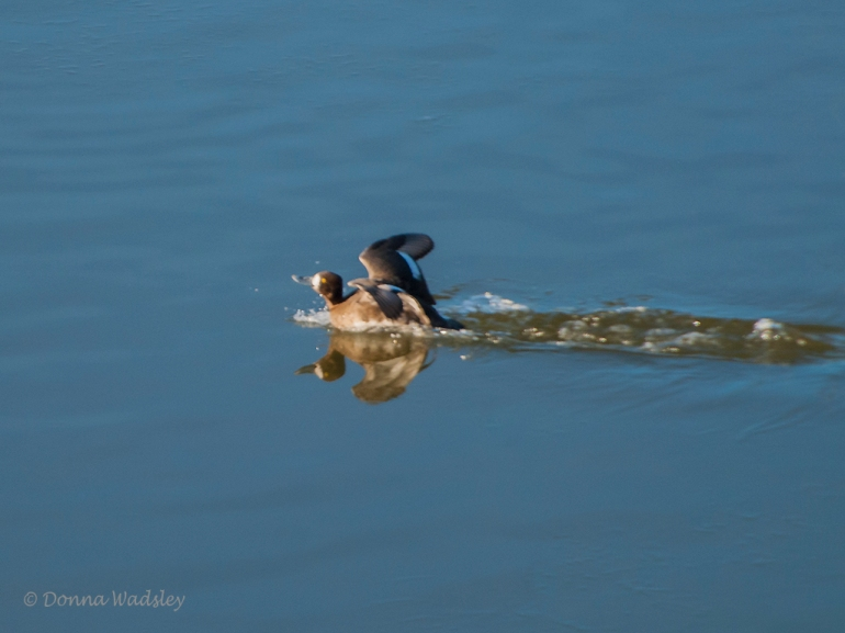 Female Lesser Scaup landing