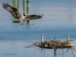Beau returning with nesting materials