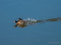 Female Lesser Scaup landing