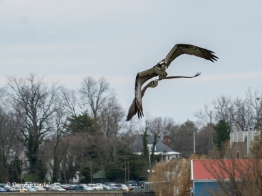 Beau chasing intruding Osprey