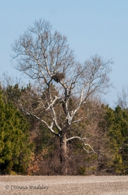 Bald Eagle Nest - Queen Anne, MD