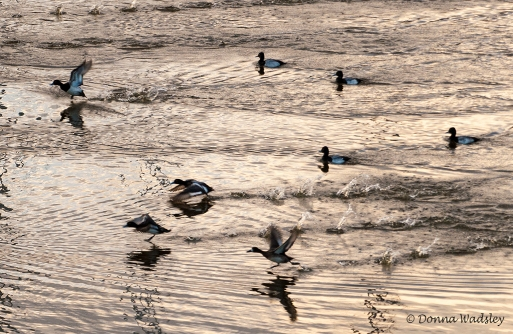 Lesser Scaup taking off at sunset