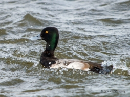 Male Lesser Scaup popping up from a dive