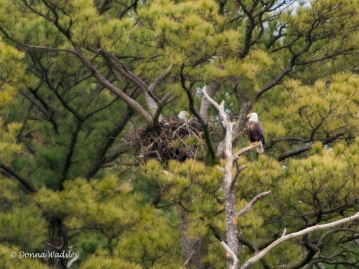 Bald Eagle pair and their nest