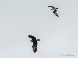 Beau chasing Eagle