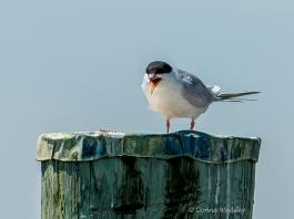 Forster's Tern doing a little dance