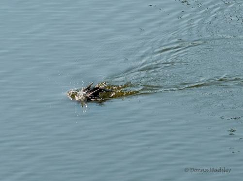 Cormorant diving before Osprey strike