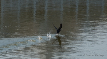 Cormorant takes Bella's warning and leaves the creek