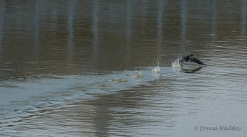 Cormorant says he's outta here!