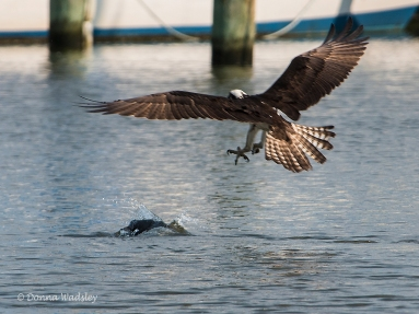 The Cormorant dives as Beau closes in on an attack