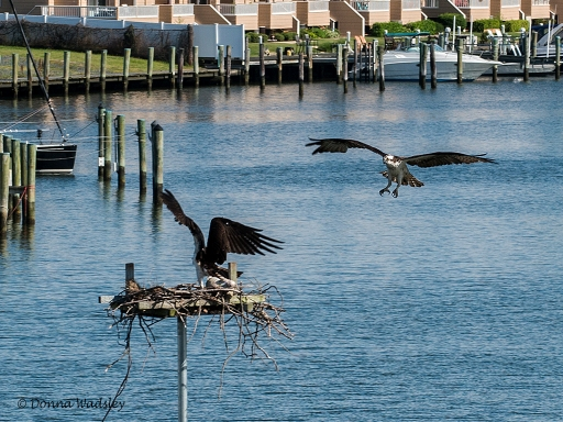 Osprey intruder trying to land