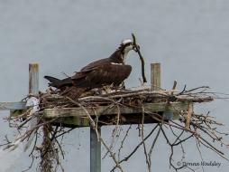 Bella building 'fences' around the nest