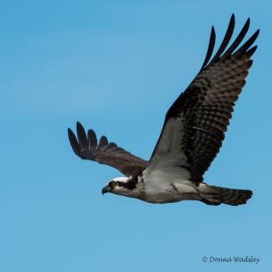 Beau in flight