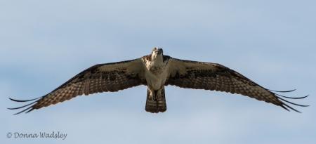 Bella in flight