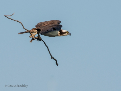 Beau taking stick to nest.