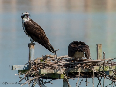 Beau alarming a pair of Osprey intruders.