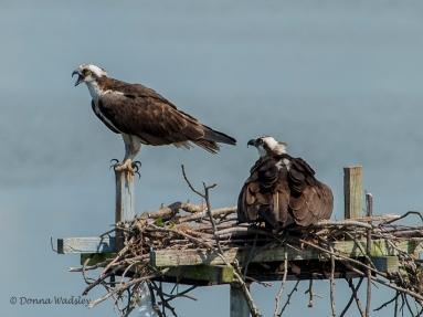 Osprey intruder harrassing Bella & Beau.