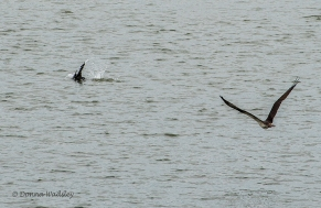 Cormorant sees Bella and dives