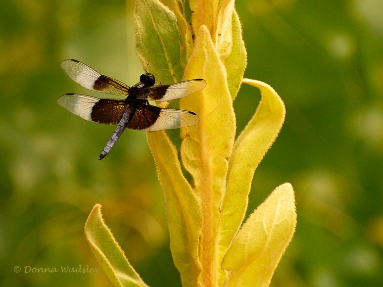 _DSC0178-1 8-15-19 widow skimmer