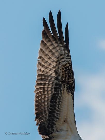 Bonita's wing.